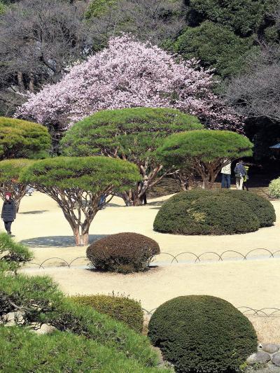 新宿御苑1/2 日本庭園・和風の花園 ☆カンザクラ・フクジュソウが咲いて