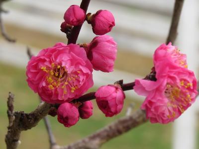 遅かりし梅の花(明石・石ヶ谷公園)