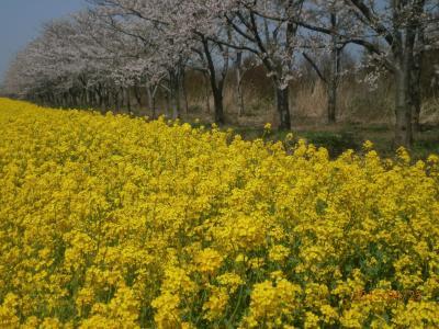 八郎潟桜と菜の花