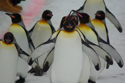 冬の北海道はペンギンも散歩する。3月の雪解け間近い町と旭山動物園をどうぞ。中身はペンギンばっかり。前編