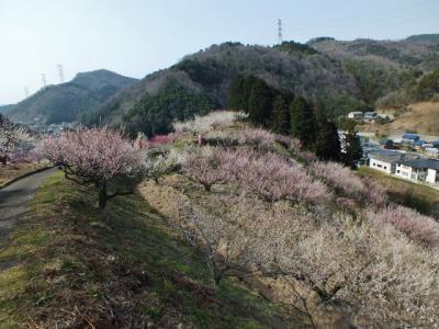村中、梅の花だらけ