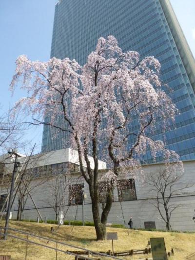 赤坂の枝垂れ桜いい感じ
