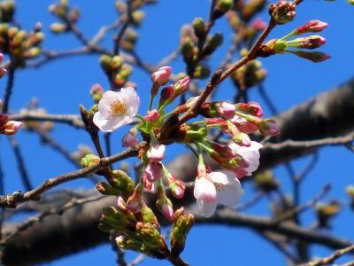 神田川の桜 咲き始めました。