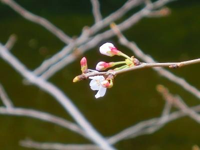 江戸川公園の桜も咲き始めました