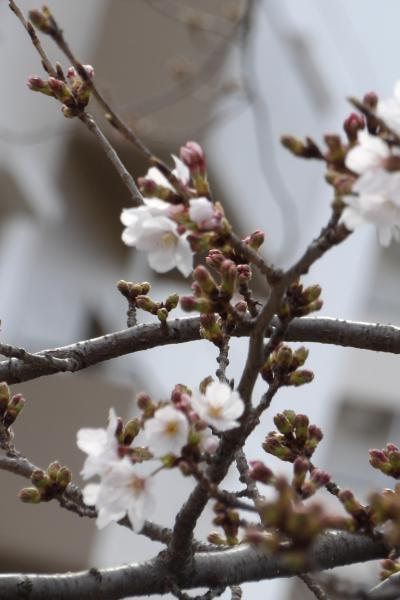 柏尾川の桜並木(染井吉野)は開花状態です
