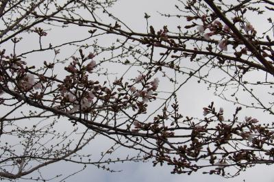 戸塚税務署の桜並木(染井吉野)も開花状態です