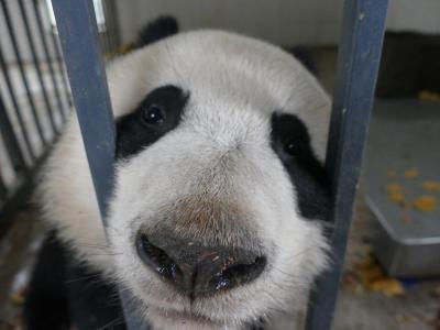 念願!パンダボランティア!(中国保護大熊猫研究中心 都江堰基地「熊猫楽園」パンダ基地)   ついでにUFO写真撮影