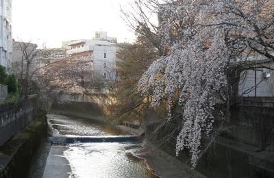 高田馬場の桜はまだ?
