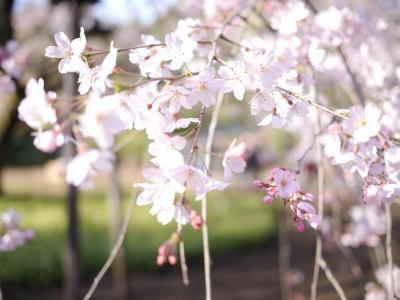 大名庭園としだれ桜@六義園