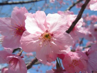 桜には早すぎた一時帰国06★埼玉★おばあちゃんちの桜
