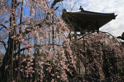 小川町カタクリとレッサーパンダ動物園で春を満喫(1)しだれ桜に迎えられた西光寺&小川町と動物園のすがすがしい春の花々