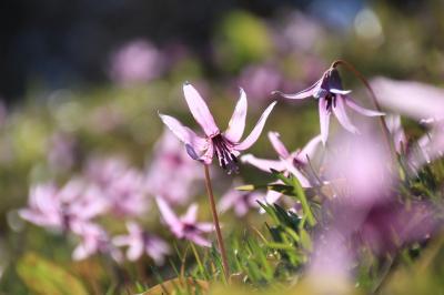 小川町カタクリとレッサーパンダ動物園で春を満喫(2)薄紫が光に透ける見頃はじめの初々しいカタクリたち