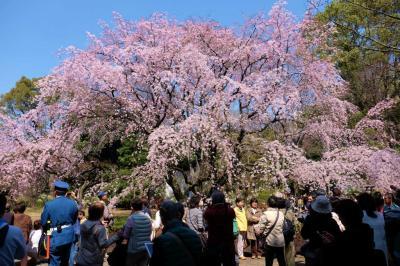 2016 六義園 枝垂れ桜 開花 上