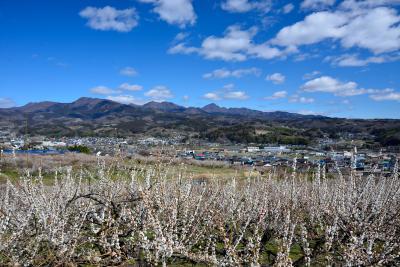 見渡す限りの梅花に魅せられ、東日本一の梅の郷・ぐんま三大梅林を訪う【前編】 ~蒼天の下に12万本の梅が咲き誇る「榛名梅林」へ~