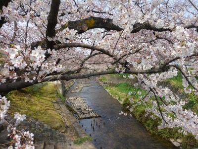 岩倉市五条川の桜はもうすぐ満開