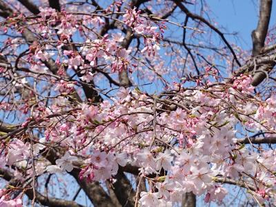 やっと春が来た!辻井伸行さんのリサイタル・メトロポリタン丸の内『テンクウ』・千葉公園で花見