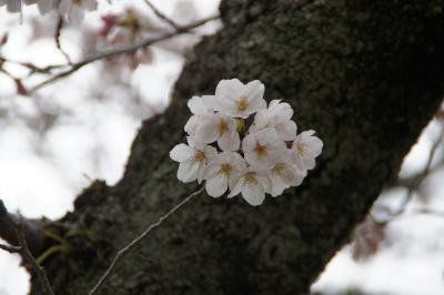 20160330 別府 大陸さん、別府冷麺 → 別府公園で咲き始めの桜を眺めたり → ろばた仁さん、かぼすぶり刺身とか