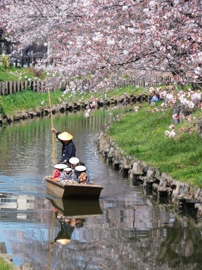 埼玉県川越市氷川神社した桜 2016