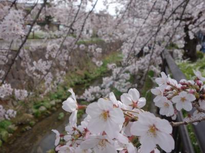 山崎川のお花見に,今年も行ってきました。とってもきれいでした。