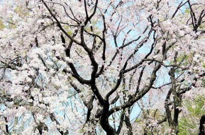 東京さくら散歩と ゲスの極み乙女 LIVEではじける♪