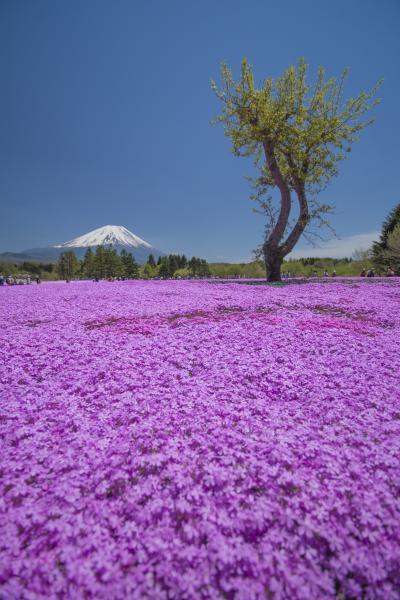 バスツアーに参加してみて富士芝桜へ・・・