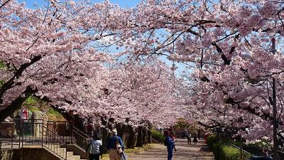 桜満開の王子動物園 中巻