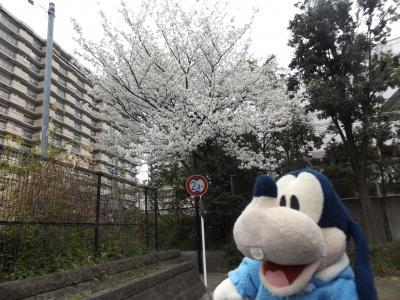 グーちゃん、鴨居の桜を視察する!(グー散歩/鴨居桜まつりを視察!編)