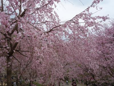 東山動植物園でサクラのお花見をしました。植物園のサクラはすごかった。