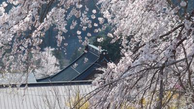 身延山の枝垂れ桜が満開