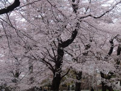 さくらはな 大宮公園と赤羽桜堤緑地の桜を見てきました。