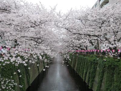 2016年 目黒川&六本木 満開の桜めぐり