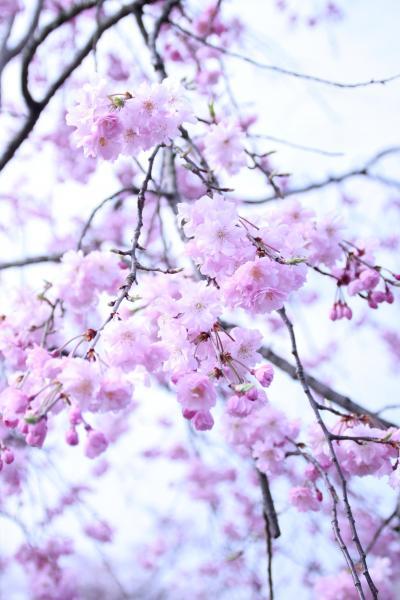 2016年の桜はしご - 地元の桜が美しい大好きな場所へ(岐阜・多治見)