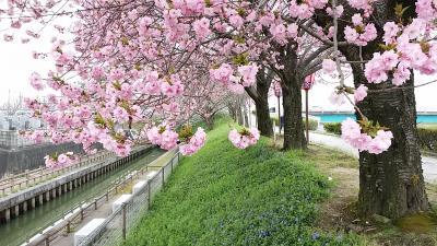 ☆さくらネックレス 2016 須ヶ谷川 桜堤 <愛知県>