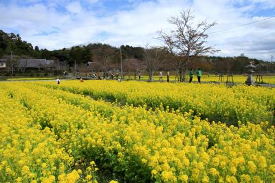 観音寺(大御堂)の菜の花、海住山寺の桜、岩船寺の花々、馬見丘陵のチューリップ