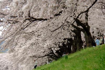 八幡背割堤の桜・開花調査終了!