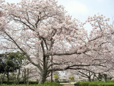 2016年 山口県・山陽小野田市 須恵健康公園で桜を2日見ました。