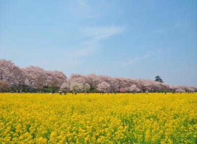 空と桜と菜の花と♪   【 権現堂桜堤 2016.4.6 】