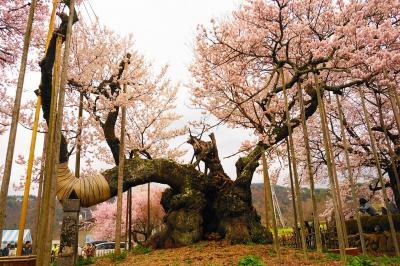 山高神代桜 山梨県北杜市の桜の名所