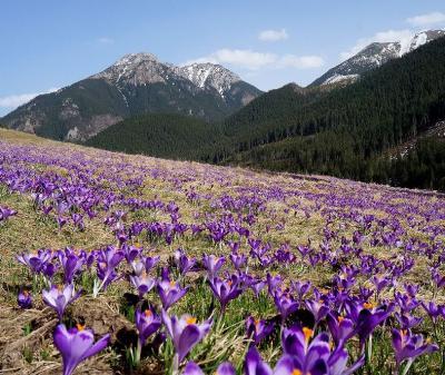 団塊夫婦のポーランド&スロバキアドライブ旅行ー(1)早春のタトラ山地・クロッカスの咲く谷へ