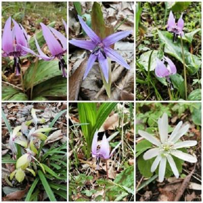 カタクリの花を愛でる ~ 町田市かたかごの森へ、その群生地を訪ねる