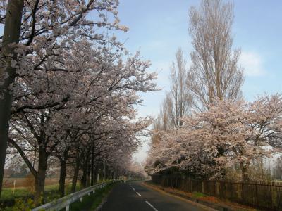 早朝ウォーキングコース沿いに咲く花達・・・ ③平成国際大学周辺の桜を愛でる