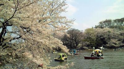桜さくら 吉祥寺 井の頭恩賜公園(・ω・)/♪