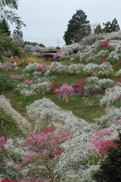 静かな里山に咲く「しだれ桃」