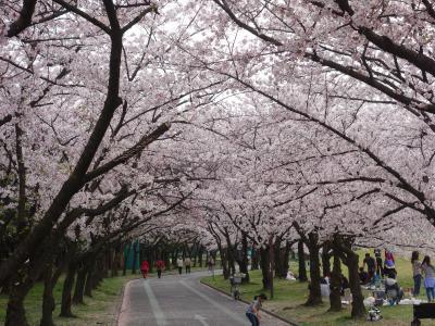 庄内緑地の桜のトンネル。知られざる桜の名所です。