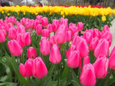 2016年[春の花まつり]のあしかがフラワーパーク ◇チューリップや枝垂れ桜などが見頃◇