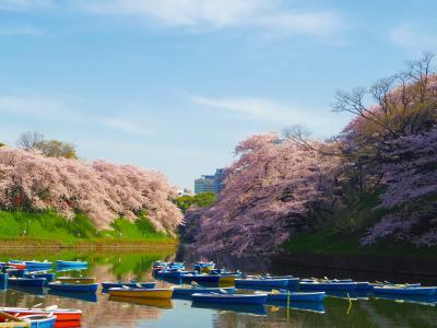 美しすぎる満開の桜たち@出勤前の千鳥ヶ淵