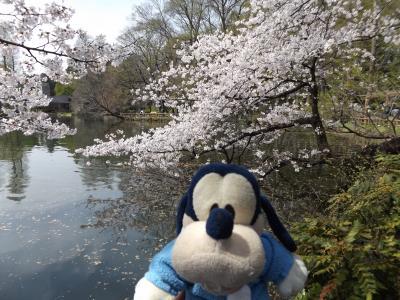 グーちゃん、井の頭公園へ桜を見に行く!(グー散歩/スロベニアのYOUと国際親善?編)