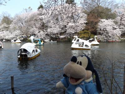 グーちゃん、井の頭公園へ桜を見に行く!(グー散歩/お池の都市伝説は本当なのか?編)