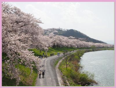 今年もやっぱり外せない桜の名所!! ★白石川堤「一目千本桜」★