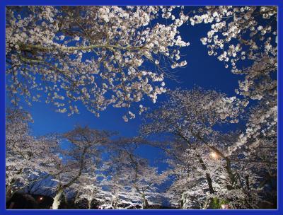 船岡城址公園の桜